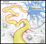 Myelin insulation on Axon